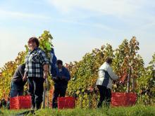 De sista druvorna plockas i början av oktober. Sen blir det fest!
