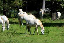 Spanska ridskolan i Wien föder upp sina hästar i Lipica några kilometer från den italienska gränsen.