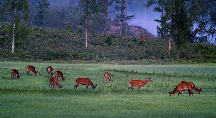 Störst risk för viltolyckor i Småland