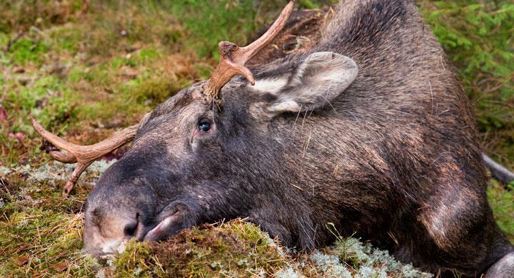 Älgvarning i Norrbotten