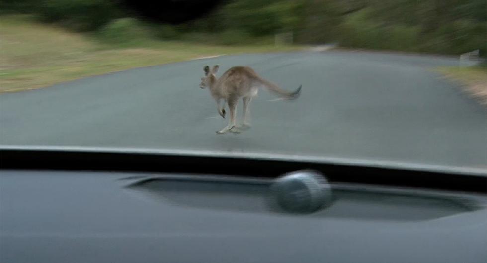 Kängurur förvirrar Volvo