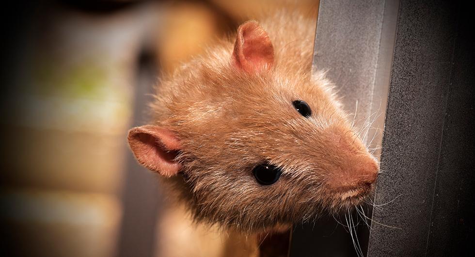 Råttor gillar att gnaga på kablar i motorn. Ett sätt att hålla dem borta från bilen kan vara att införskaffa en apparat som sänder ut högfrekvent ljud.