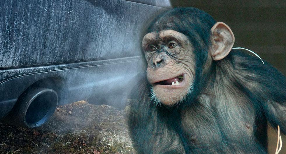 Tyska biltillverkare sponsrade avgastest på apor och människor