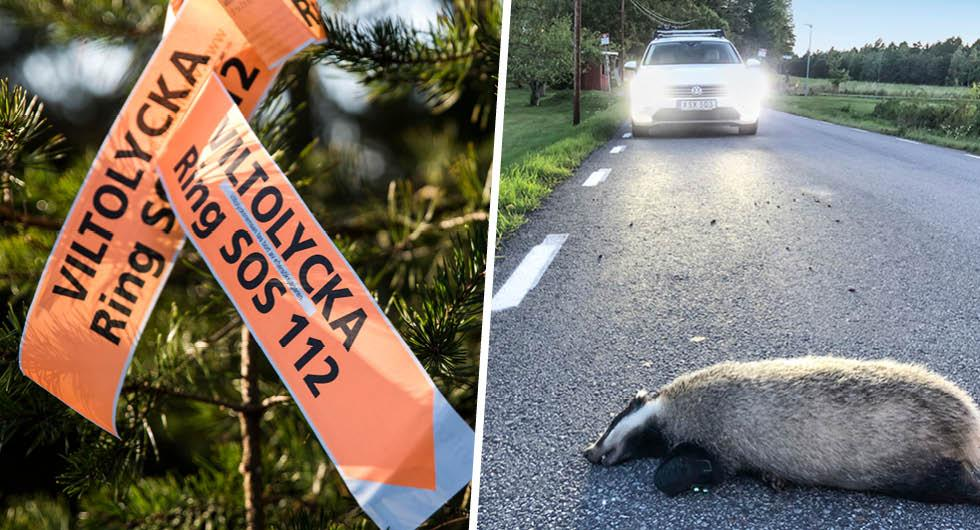 Högsäsong för vilt: Nu sker fem viltolyckor – i timmen