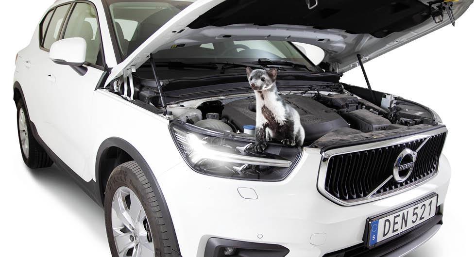 """Stenmården är bilägarnas nya plåga: """"Tar sig in under motorhuven"""""""